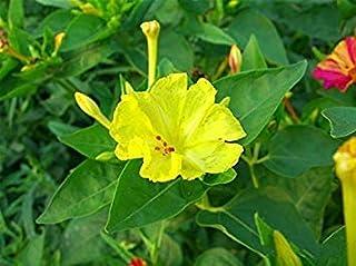50個/袋、ベルガモット種子、家族鉢植え、ゴールド仏手、Purifyの航空、種子イエローゴールド仏の手