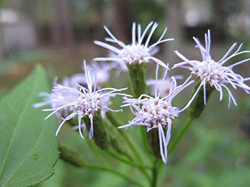 Potseed Samen Keimung: Dream Herb Samen-Hülsen Sehr selten (Calea Zacatechichi) 500+ Frische Heirloomsamen