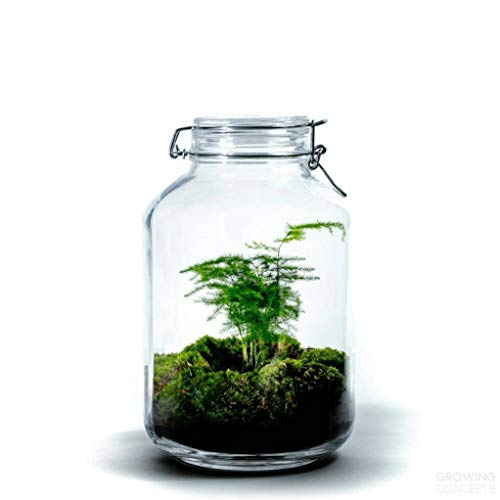 DIY Öko Flaschengarten von Botanicly: Jar Groß – Asparagus (Höhe: ca. 30 cm, Breite: ca. 17 cm)