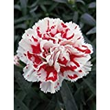 。花の種子:梅雨の庭種子用Grenadin白雪姫花の種子(15個のパケット)庭の植物の種子