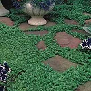 growing pachysandra from seed