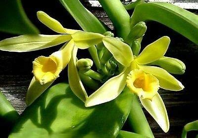 Max 84% OFF Vanilla Planifolia San Antonio Mall - 'Vanilla Orchid' 2-3