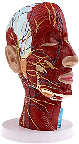 Superficial Nerve Model of The Human Head - Sagittal Section with Vascular Nerve - Red Artery, Blue Vein, Yellow Nerve - Medical and Aesthetic Education. Education Model