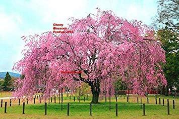 Potseed Keimfutter: US 10 Samen der japanischen Kirschblüten-Baum Keine Fruchtsamen