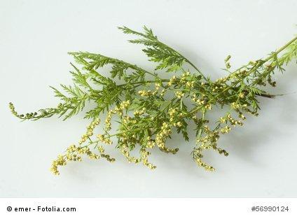 Einjähriger Beifuss Artemisia annua Qing Hao 500 Samen Ernte 06/2020