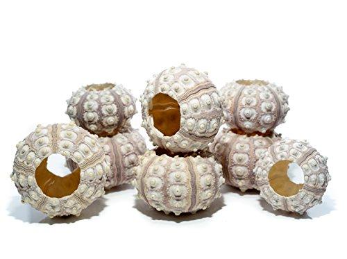 Sea Urchin | 8 Sputnik Sea Urchin Shell | 8 Purple Sputnik Sea Urchin Shells for Craft and Decor | Plus Free Nautical eBook by Joseph Rains