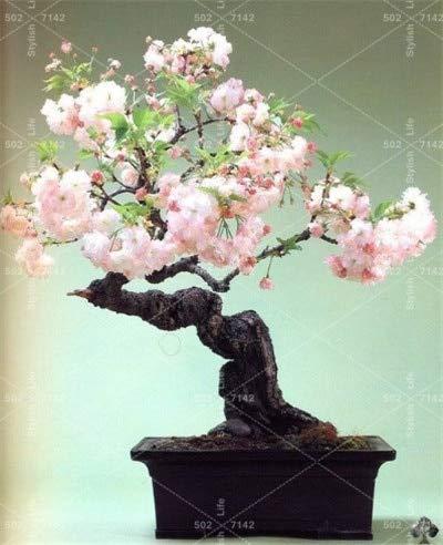 HONIC Mini Bonsai-Baum Japanische Sakura Pflanze Seltene japanische Kirschblüten Blumen Pflanze in Bonsai, Rosa Prunus Serrulata-10 PC