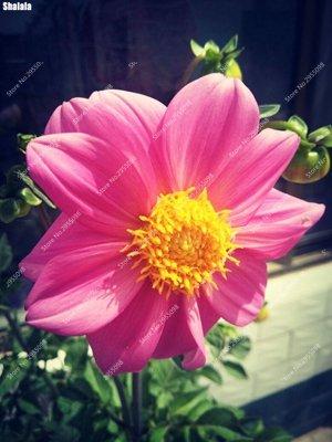 70pcs/Sac exotique Petit Dahlia Graine d'intérieur Multicolor Mini Mary Bonsai pot d'ornement usine de fleur bricolage jardin 10