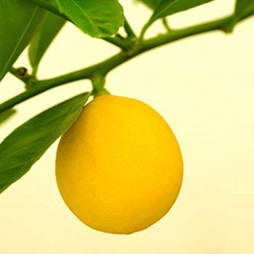BigFamily Semillas de Semillas de Limón Mini 10Pcs Bonsai Hogar Ecológico