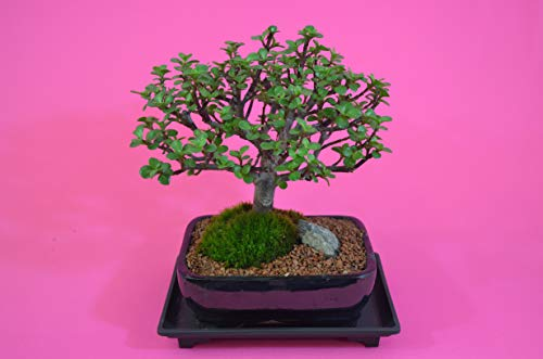 Indoor Bonsai, Mini Jade (Money Plant), Flowers, Broom Style, 10 Years Old with Free Watering Tray