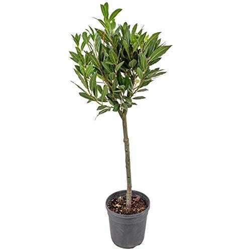 Lorbeerbusch | Laurus Nobilis pro Stück - Freilandpflanze im Aufzuchttopf cm17 cm - 75 cm