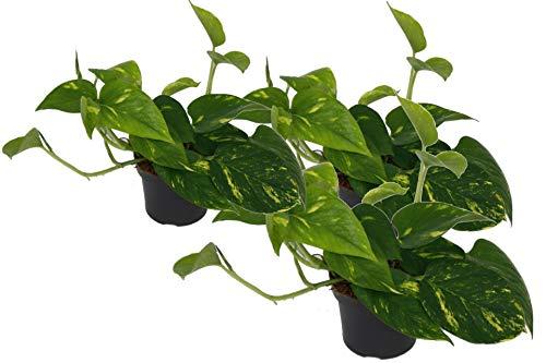 Efeutute, Scindapsus, (Epipremnum aureum) Sorte: Aureum, gelb-grünes buntes Blattwerk, rankend, Ampelpflanze, luftreinigend (3er Set im 12cm Topf)
