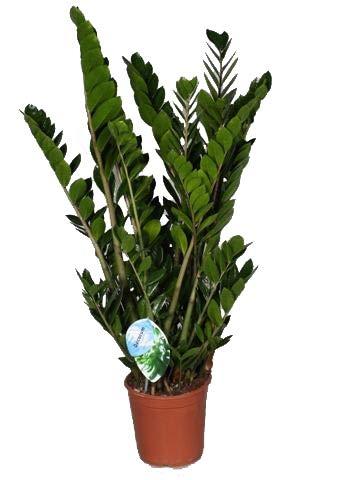 Glücksfeder, (Zamioculcas zamiifolia), Zamie, Zamia Farn, Zamia Palme, pflegeleichte Zimmerpflanze (ca. 100cm hoch im 24cm Topf)