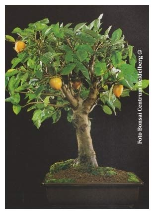 TROPICA - Plaqueminier du Japon (Diospyros kaki) - 10 graines- Bonsai