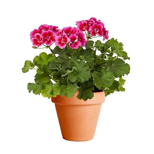 Geranio con Flor con Maceta de Cerámica Tradicional Planta Viva para Terraza o Jardín