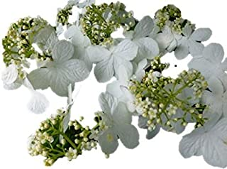 Japanese Snowball Bush 2' - 4' Tall Viburnum plicatum 'Popcorn' - 1 Gallon Trade Potted – 1 Plant by Growers Solution
