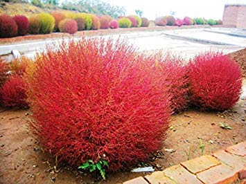 home&garden Grass seeds Perennial 300pcs Grass Burning Bush Kochia Scoparia Seeds Red Garden Ornamental easy grow
