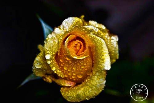 Big Promotion! White Heart Rose Side Rose Seeds 50 PCS / Sac 24 Couleurs disponibles pour les plantes en pot Rose Fleur Rare Seeds Balcon, # OWH1