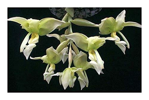 Stanhopea inodora green - orchidées - 100 graines