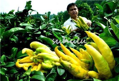 Nuevo 100 piezas bergamota Semillas, Familia maceta s, Mano de Buda, purificar el aire, semillas amarillas Mano de Buda tan raro Jardín s