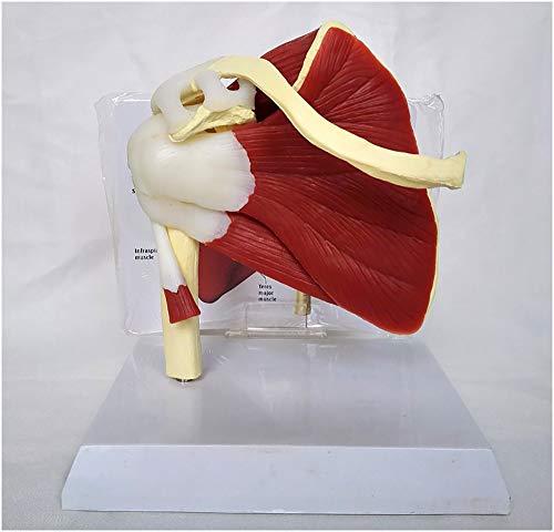 FXQ Schultergelenk Modell - Human Schultergelenk mit Muskel-Anatomie Modell - Medizinische Anatomische menschliche Schultergelenk-Modell mit Ligamentum Muskel-Skelett Schlüsselbein Humerus