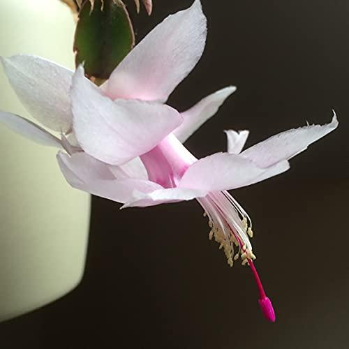 Melissa White Christmas Cactus Plant - Zygocactus - 2' Pot