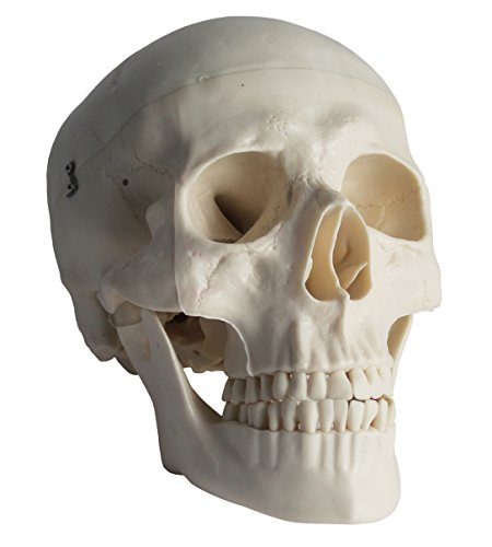 PHYSIQUE Anatomical Lifesize Human Skull Model with...