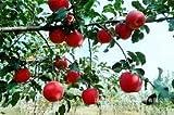 HOO PRODUCTOS - Fruta de Apple manzana roja gusta la carne roja, árboles frutales en macetas se pueden plantar árboles frutales 10 Semillas/paquete estrenar!