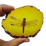 Insetto di ambra fossile con sacchetto regalo e biglietto regalo, esemplare di grado musea...