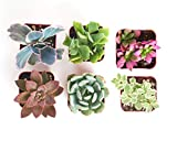 Shop Succulents   Unique Collection   Assortment of Hand Selected, Fully Rooted Live Indoor Suc…