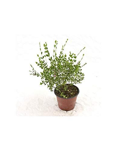 Pianta Boronia Crenulata Vaso 14cm,Altezza 20/25cm