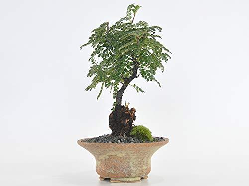 盆栽妙 磯山椒(イソザンショウ) 50310A2284