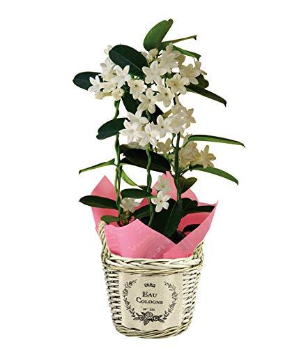 花のギフト社 マダガスカルジャスミン ジャスミン 花鉢 鉢花 鉢植え 鉢 フラワーギフト 父の日