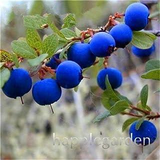 Bloom Green Co. Â¡Venta!100 Unids/bolsa Bonsai de Arándanos Fruta Orgánica Comestible Planta de Fruta Enano Arándano Bonsai Ãrbol Planta en maceta para el jardín de su casa: 17
