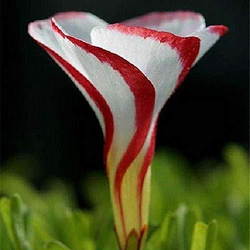 200 Stück Versicolor Blumensamen Garten Rasen Zierpflanze Gartenpflanzensamen Oxalis-Samen