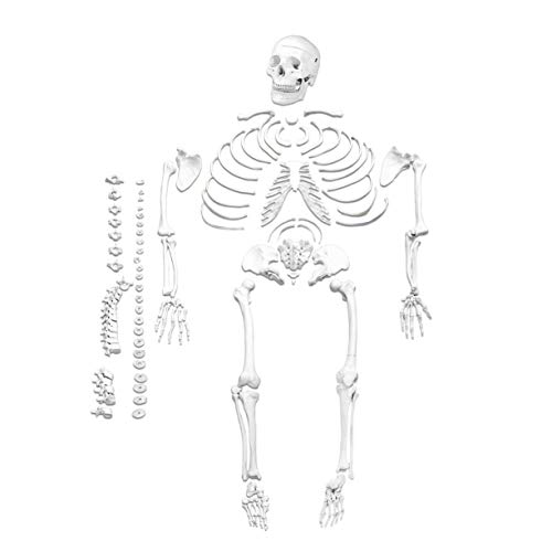 Parco Scientific PB00028, Disarticulated Medical Skeleton Model | Life Size Skeleton | Total 206 Bones | One Hand and Foot are Wired to Highlight Structure | Labeled Diagram and Study Guide Included