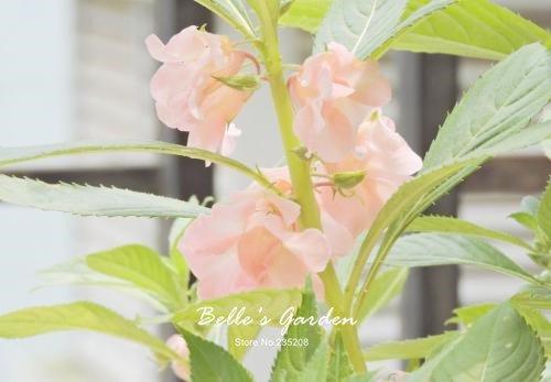 100 pcs / sac de graines de Balsamine, belle plante de fleurs Accueil Jardin Fleurs en pot semences intérieur Graines Bonsai 2