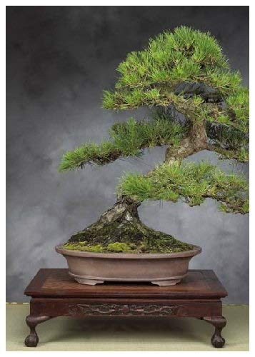 Tropica Lot de 30 graines de bonsaï pin noir du Japon (Pinus thunbergii)