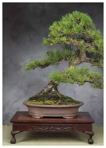 TROPICA - Pin noir japonais (Pinus thunbergii) - 30 graines- Bonsai