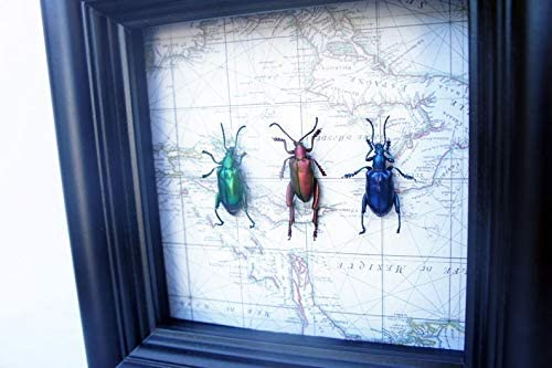 Real Frog Beetle Bug Collection Art Max 63% OFF - Max 54% OFF Nature Box Shadow