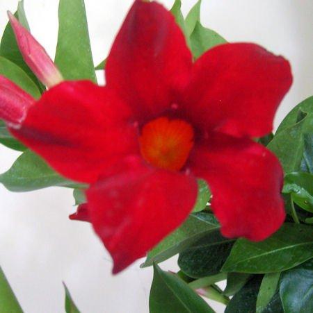 RED Mandevilla Dipladenia Tropical Vine Live Plant Brazilian Jasmine Starter Size 4 Inch Pot Emerald TM