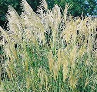 Miscanthus sinensis Chinese Silver Grass 20 Seeds