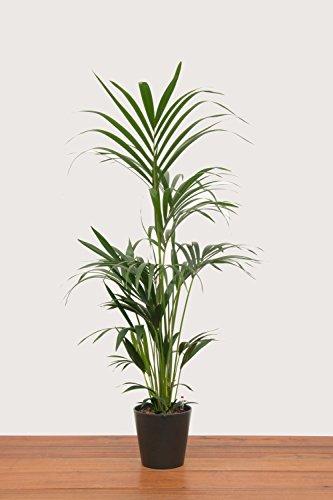 Evrgreen Kentiapalme 120 cm inkl. Topf in anthrazit große robuste Zimmerpflanze XXL in Hydrokultur für Schatten Howeia forsteriana 1 Pflanze