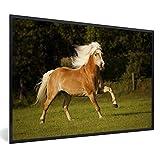 Poster mit Rahmen Haflinger - Haflinger Pferd im Galopp