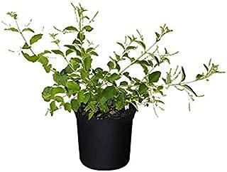 PlantVine Aloysia virgata, Sweet Almond Verbena, Incense Bush, Sweet Almond Bush - Large - 8-10 Inch Pot (3 Gallon), Live Plant