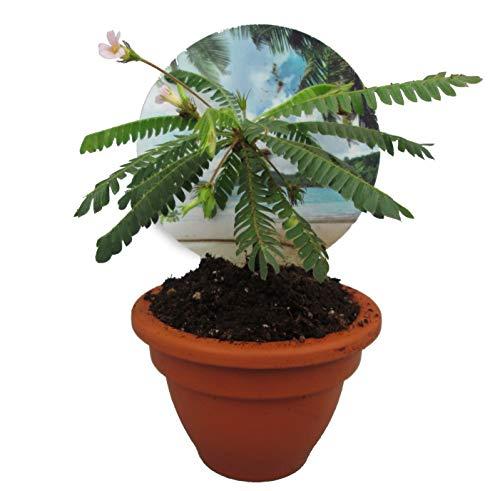 Südseepalme, (Biophytum sensitivum), im 9cm Tontopf, ideal für Kinder, die Pflanze die sich bewegt (1 Pflanze)