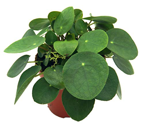 Glückstaler, (Pilea peperomioides), Chinesischer Geldbaum, Zimmerpflanze, (im 13cm Topf)