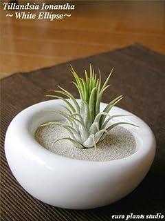 エアープランツチランジア・イオナンタ / ホワイトイリプス / AirPlants Tillandsia・IONANTHA / White Ellipse / インテリアグリーン / ミニ観葉植物