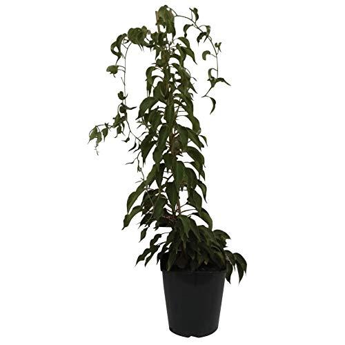 Müllers Grüner Garten Shop Kiwi Issai kräftige Kiwipflanze Actinidia arguta selbstfruchtbar stachelbeergroß 60-100 cm 3-5 Liter Topf