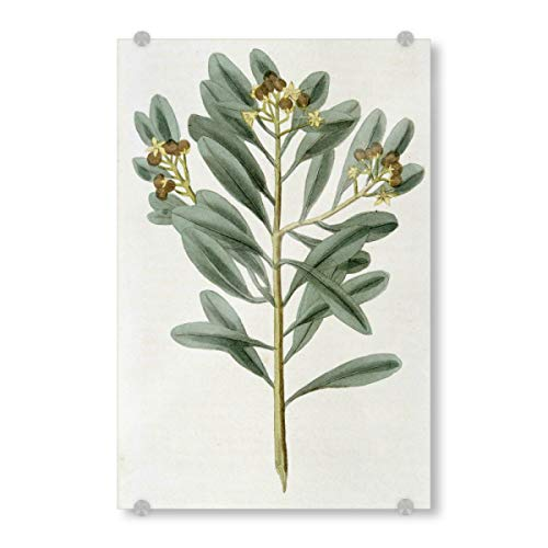 artboxONE Acrylglasbild 45x30 cm Natur Zimtpflanze Bild hinter Acrylglas - Bild Science cannelle cinnamomum